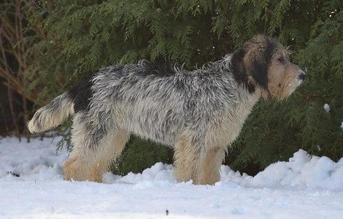 Большой вандейский бассет гриффон порода охотничьих собак