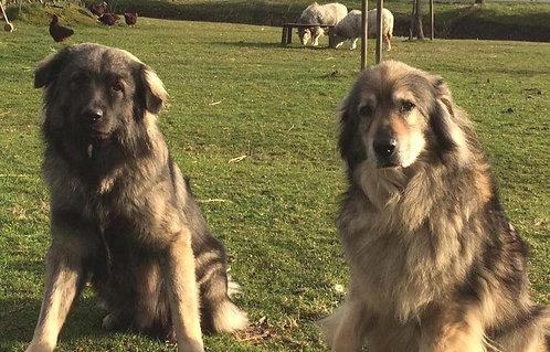 Карсткая овчарка балканская порода больших рабочих охранных собак