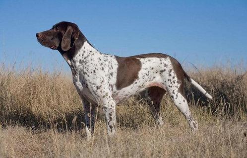 Стародатская легавая охотничья порода собак с длинными ушами