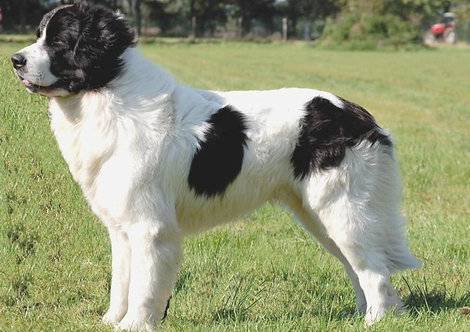 Ландсир канадская порода больших рабочих собак спасателей