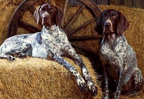 Курцхаар немецкая порода охотничьих легавых подружейных собак с длинными ушами