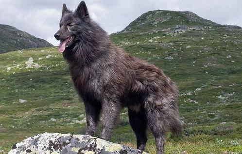 Голландская овчарка длинношерстная порода крупных сторожевых собак