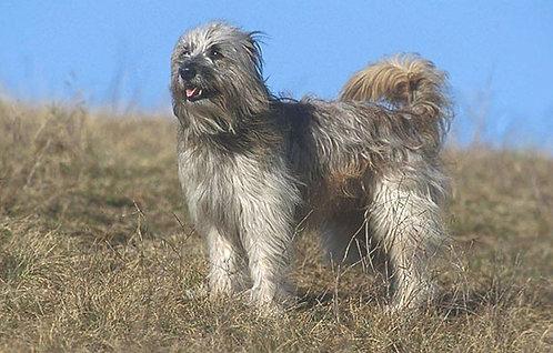 Пиренейская длинношерстная овчарка французская порода охранных собак среднего размера