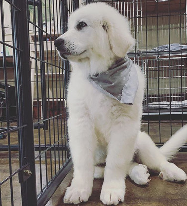 baby Pyrenees 😭 can't handle the cutene
