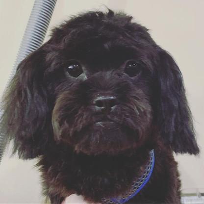 Puppy's 1st Trim ♥️🐾 #peekapoo #groomin