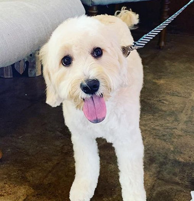 Mini Goldendoodle with Puppy Cut ♥️🐾_ed