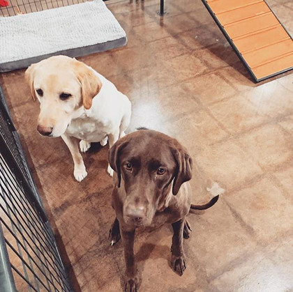 LabLove 🐾 they are an inseparable pair,