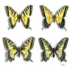 Swallowtail butterflies of Alberta