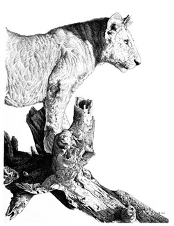 Lion pen and ink