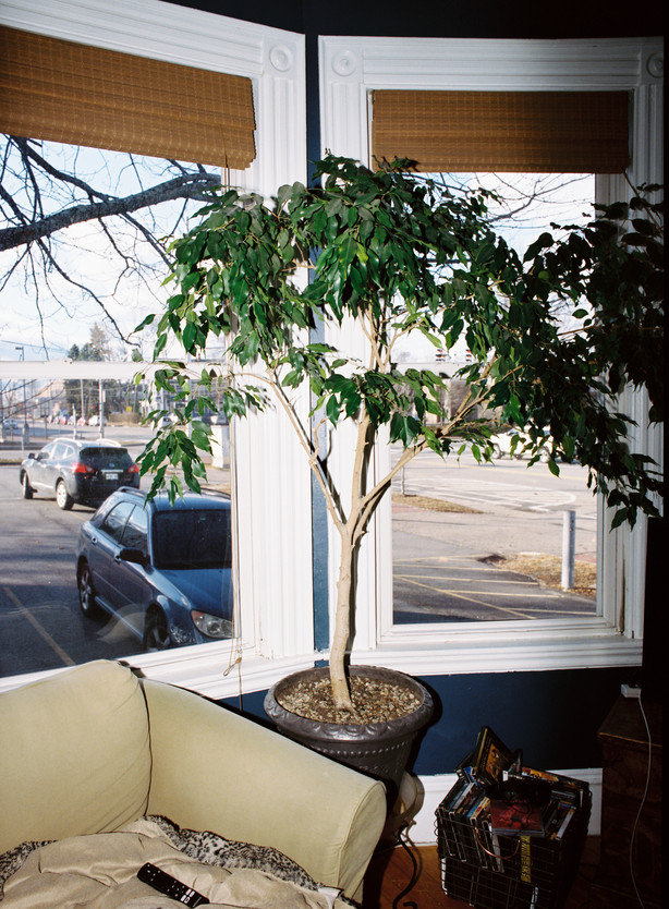 ficus in home