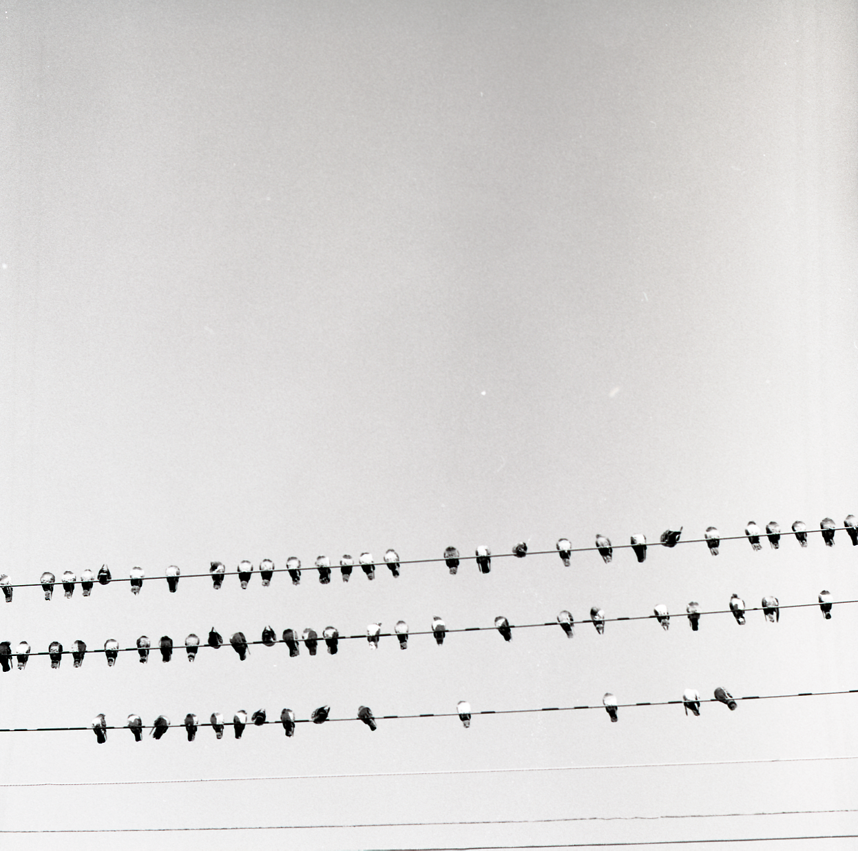 sixty-five pigeons on three wires