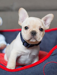 social media celebrity french bulldog