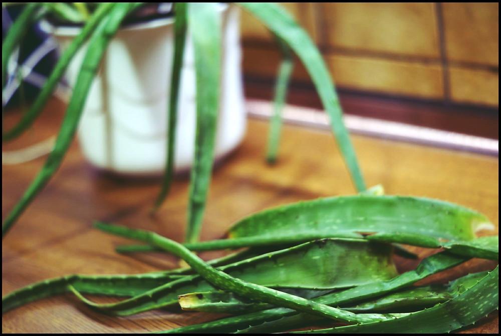Blätter einer Aloe Vera Pflanze