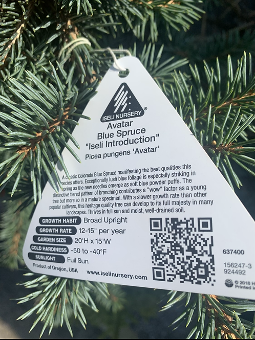 Spruce Trees - 50% off