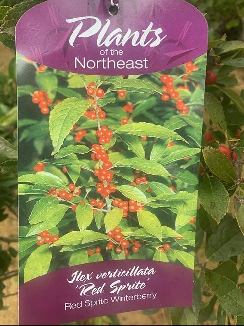 Winterberry 'Red Sprite'