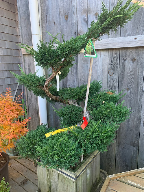 Shimpaku Juniper - Topiary Form