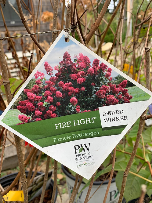 Hydrangea 'Fire Light' - $9.50