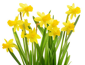 Spring_Bulb_SF_Daffodil_group_isol_shutt