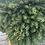 Thumbnail: Little Gem Norway Spruce