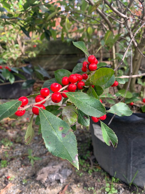 Winterberry 'Spritely Couple'