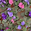 Thumbnail: African Violets