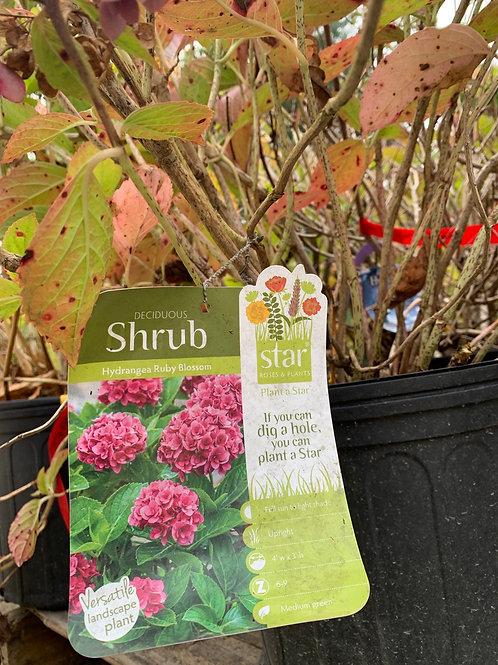 Hydrangea 'Ruby Blossom' - $9.50