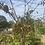 Thumbnail: Flowering Cherry Trees - 75% off