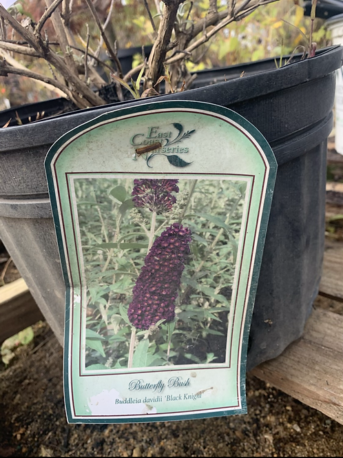 Butterfly Bush - now 75% off