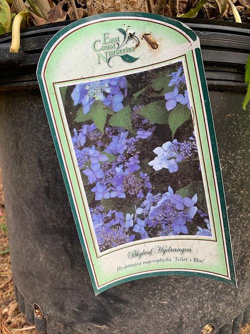 Hydrangea 'Teller's Blue' - 50% off