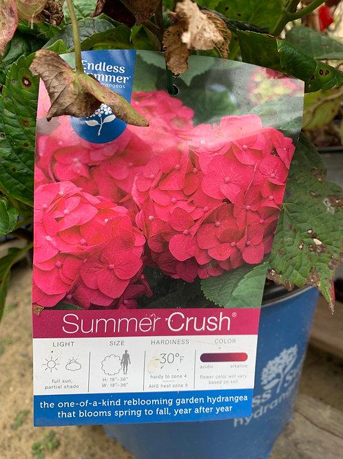 Endless Summer Hydrangea 'Summer Crush'- $9.50