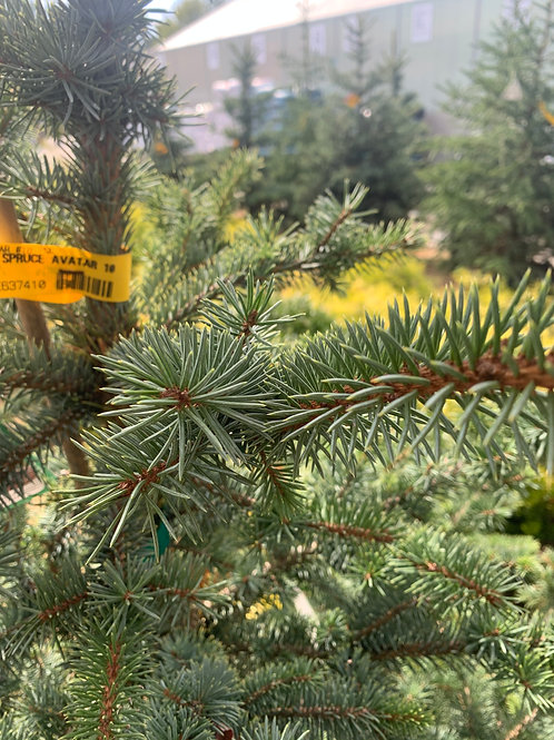 Colorado Blue Spruce 'Avatar'