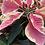 Thumbnail: Poinsettia - Variegated