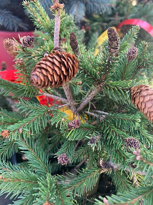 Pusch Norway Spruce