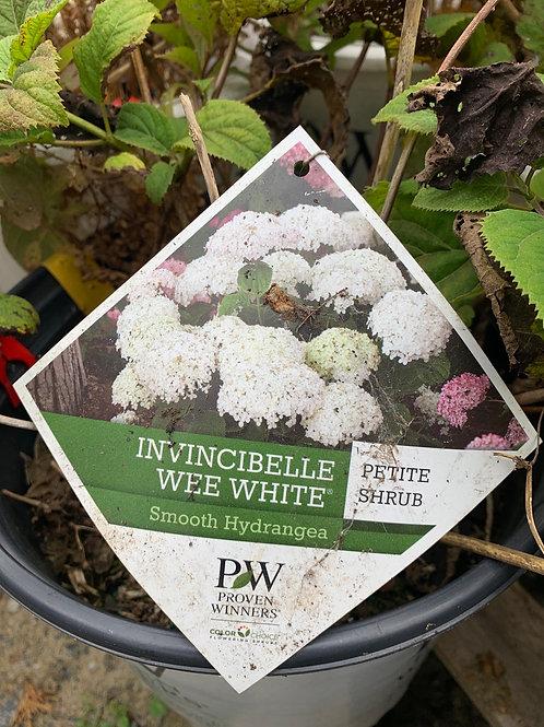 Hydrangea 'Invincibelle Wee White' -  $9.50