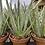 Thumbnail: Aloe Plant