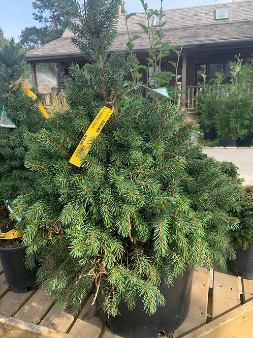 Dwarf Blue Spruce 'Sester'
