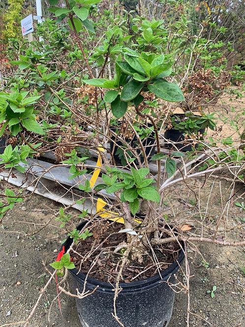Hydrangea grandiflora -$9.50