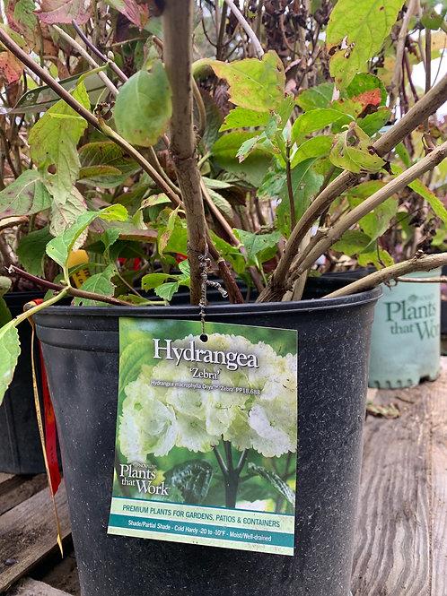 Hydrangea 'Zebra' - $9.50