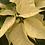 Thumbnail: Poinsettia - White