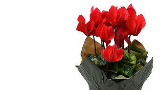 Cyclamen Home Page.png