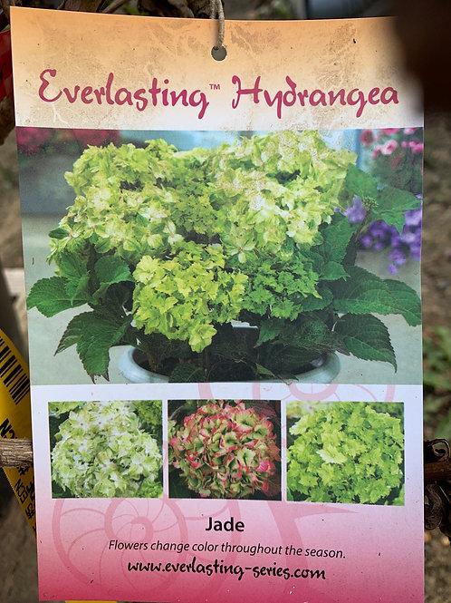 Jade Hydrangea - $9.50