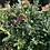 Thumbnail: Green Lustre Holly