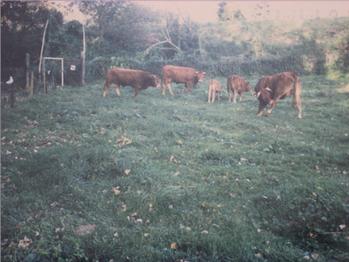 De eerste koeien in natuurreservaat Overbroek