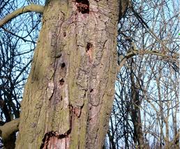 Oude hoogstamboom