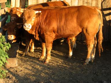 Limousin stieren