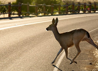 WHAT TO DO AFTER A DEER COLLISION