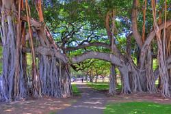 Ride through Indian Banyon Tree