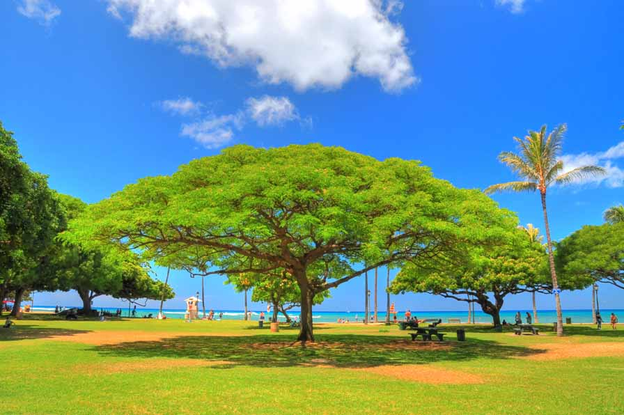 Monkeypod Tree at Kapiolani Park