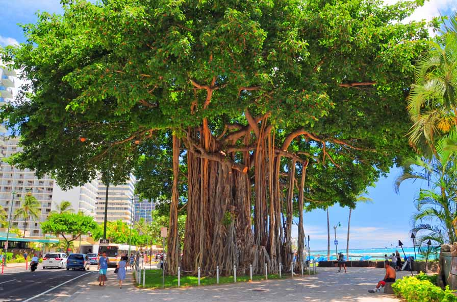 Waikiki Beach Indian Banyon Tree