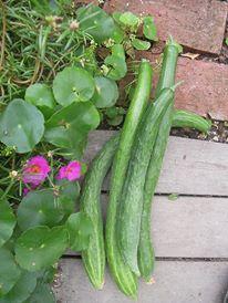 Harvest cucumbers in little gard